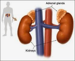adrenal-2Bglands
